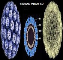 SV40 – rakotwórczy wirus w szczepionkach przeciw polio!