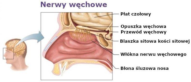 Nerwy węchowe
