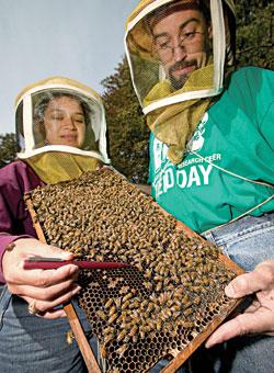 SEEKING SYMPTOMS  USDA researchers rate honeybee colonies for signs of disease.