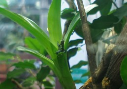 Mimic Poison Dart Frog (...which is still poisonous, despite the name)
