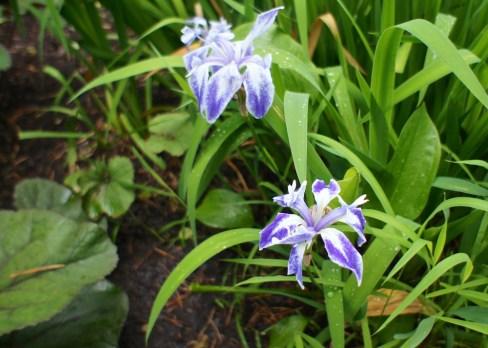 variegated Rabbit Ear Iris