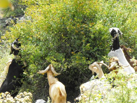 Goats will eat anything