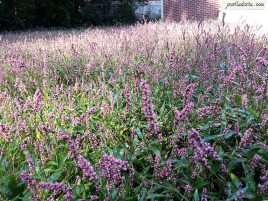 Weeds with purple blooms