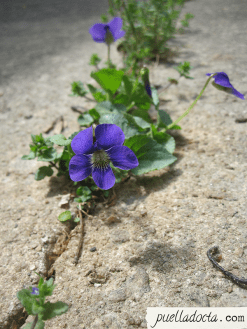 Violet growing up from the cracks