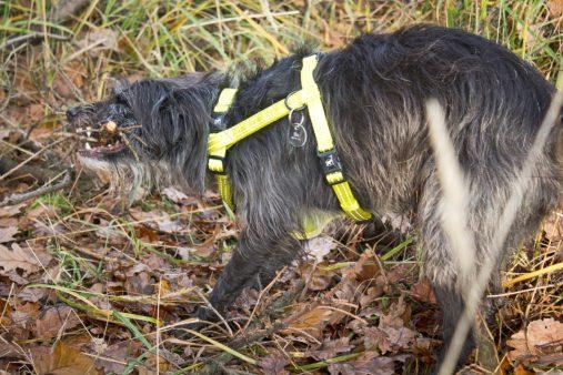 Szele tradycyjnie pokręcone na pokręconym psie