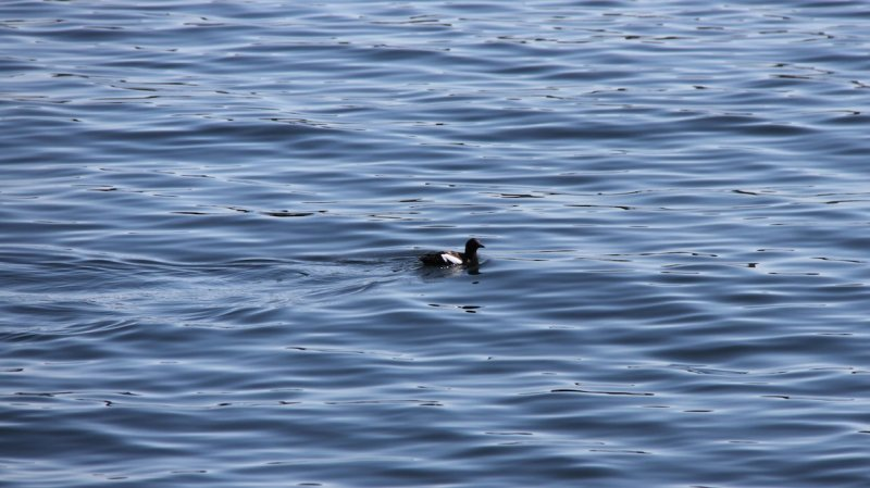 A seabird floats on calm water in Hood Canal.