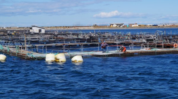 Workers repairing one of Cooke Aquaculture's net pens near Port Angeles.