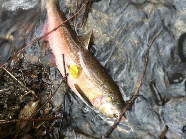 A coho salmon in Longfellow Creek.