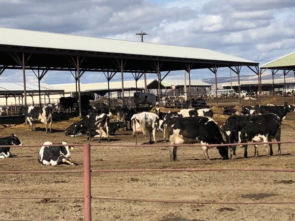 Dairy cows stand in a lot in Sunnyside, Washington.