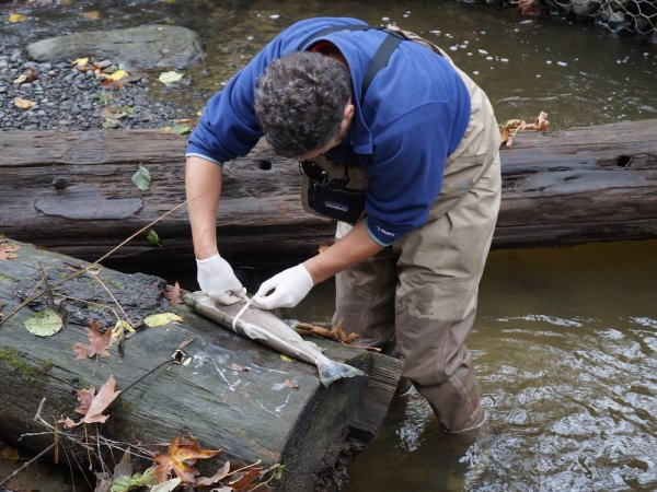 A person in waders stands in the stream measuring a salmon carcass that is balanced on a log.
