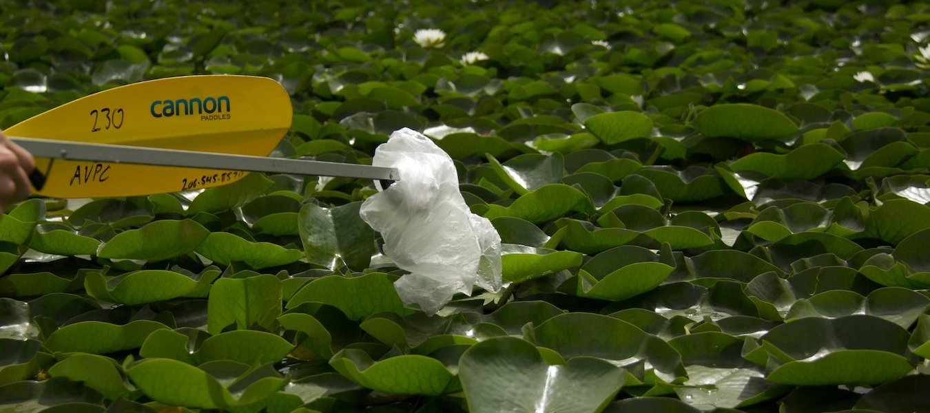 A plastic bag is removed from the water in a field of lilypads.