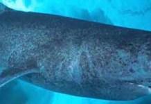 le-requin-du-groenland-peut-vivre-plusieurs-siecles-il-ne-grandit-que-d-un-centimetre-par-an-environ-cc-by-edwgb-1470981998.jpg