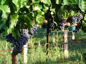 Grapes in the Lawrence Dunham vineyards