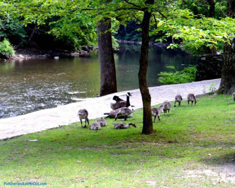 Geese-in-front-of-Inn-on-Wi