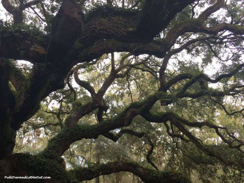 Branches of the Angel Oak Tree Near Charleston - PullOverandLetMeOut.com