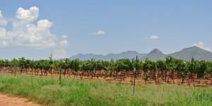 Callaghan vineyard view