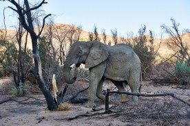 Desert elephant feeding on dead tree