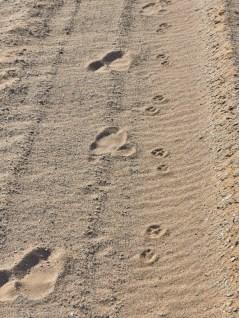 Ostrich and aardwolf tracks