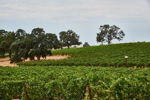 Oak trees and vineyard