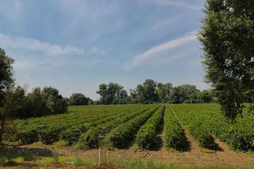 Heritage Oak SB vineyard featured