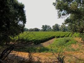 Heritage Oak Sauvignon Blanc vineyard