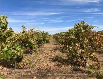 Bechthold Vineyard