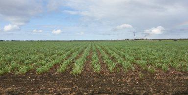Sugar cane 1