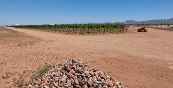 A vineyard in Willcox