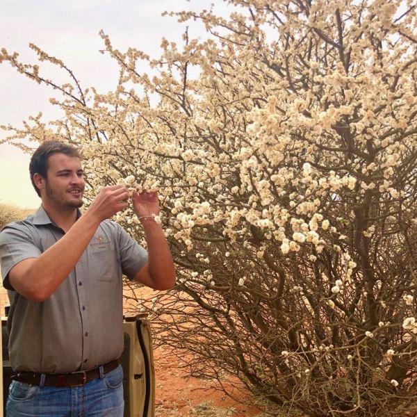An Acacia bush in bloom
