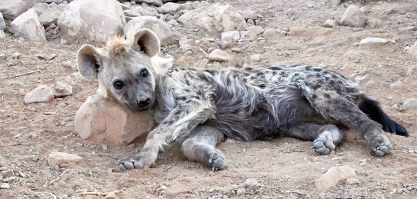 Spotted hyena pup chilling