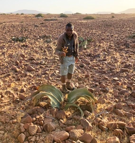 Welwitschia Mirabilis plant