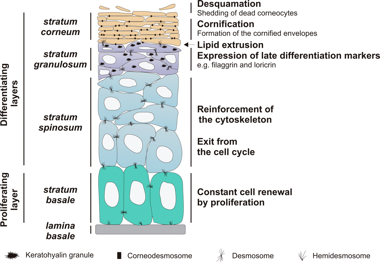 Epidermis Structure Labels Biological Science Picture