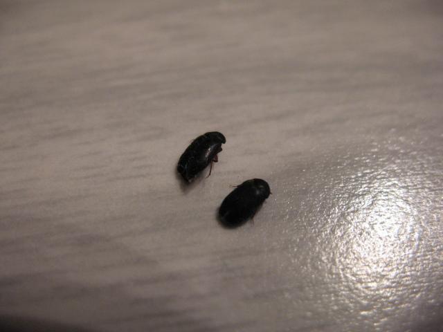 Black Bugs In Bedroom Style Ideas. Little Black Insects In Bedroom   Bedroom Style Ideas