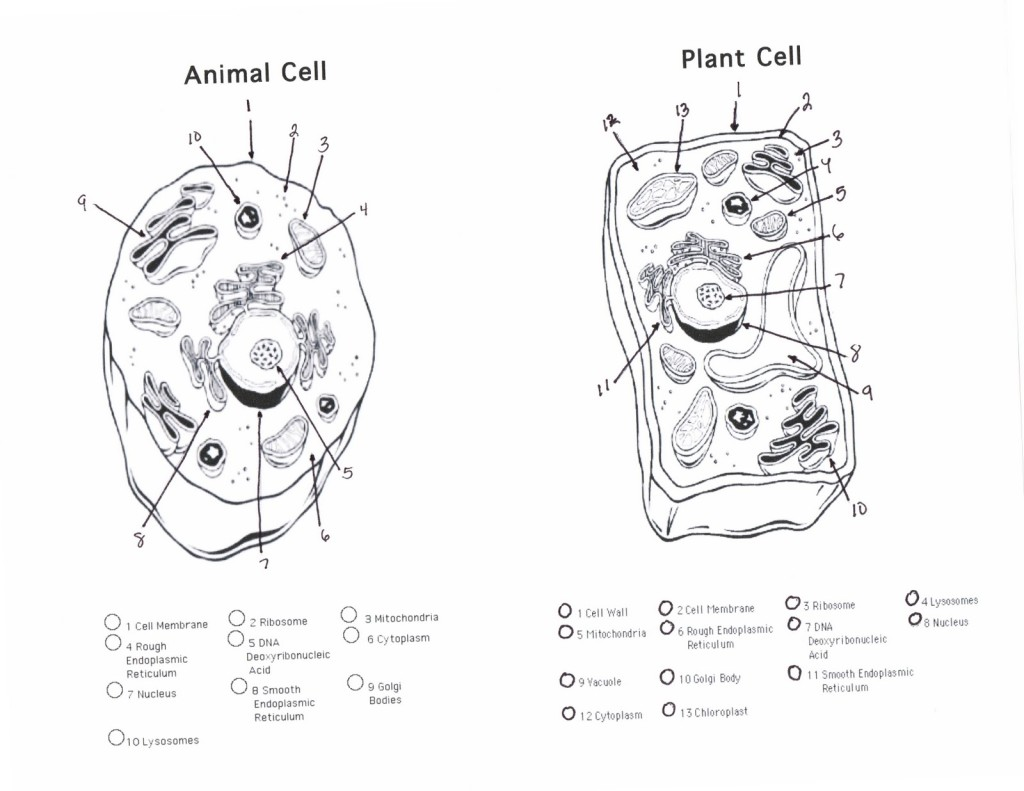 Plant And Animal Cells Diagram Quiz Biological Science Picture Directory Pulpbits