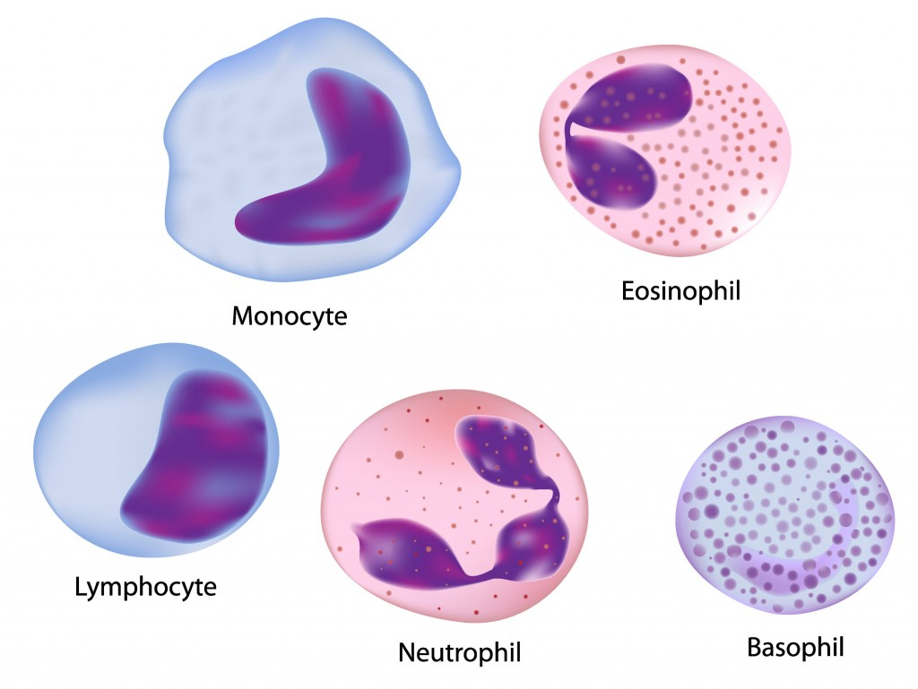 5 Types Of Normal White Blood Cells Biological Science