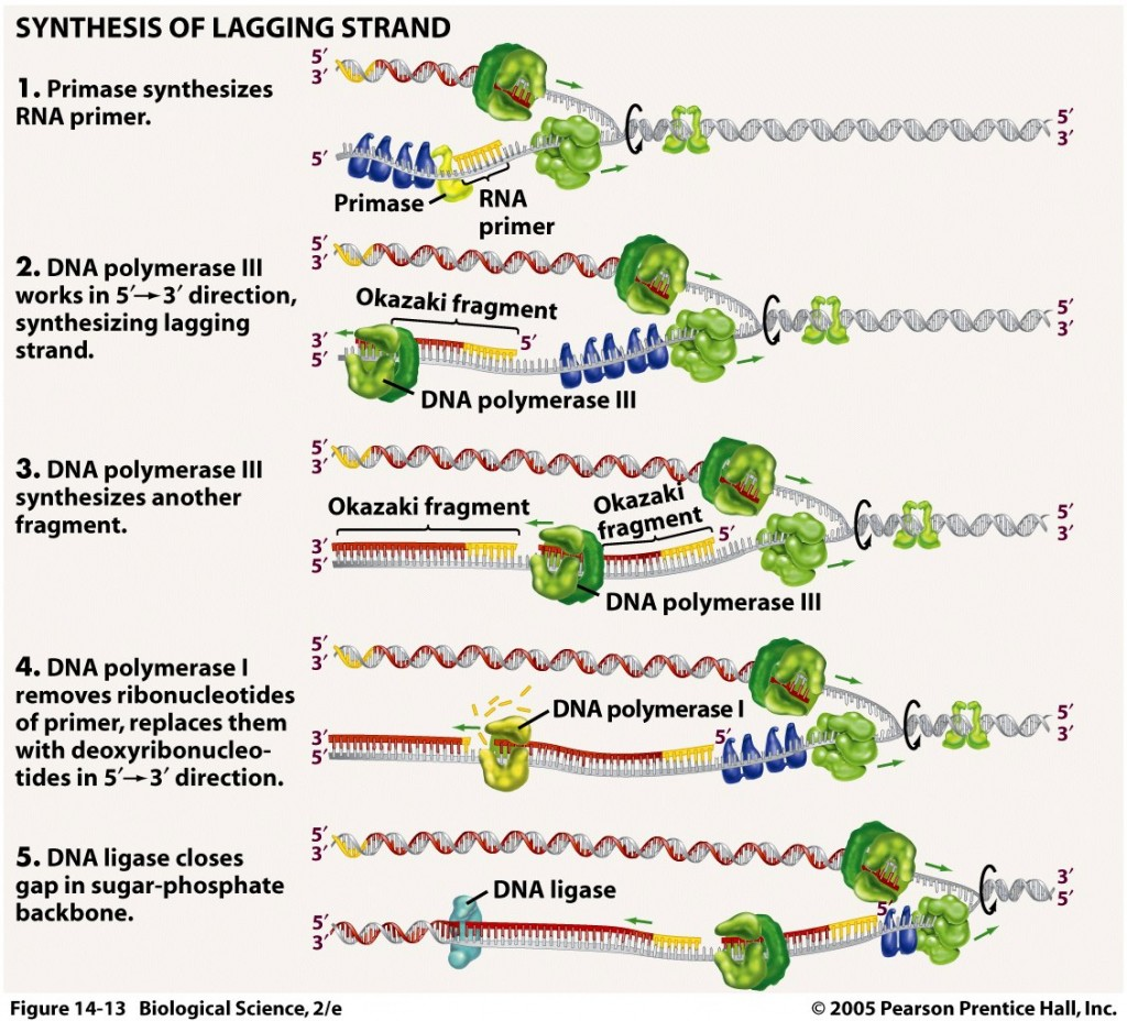 Dna Replication Process For Dummies 1 Biological Science