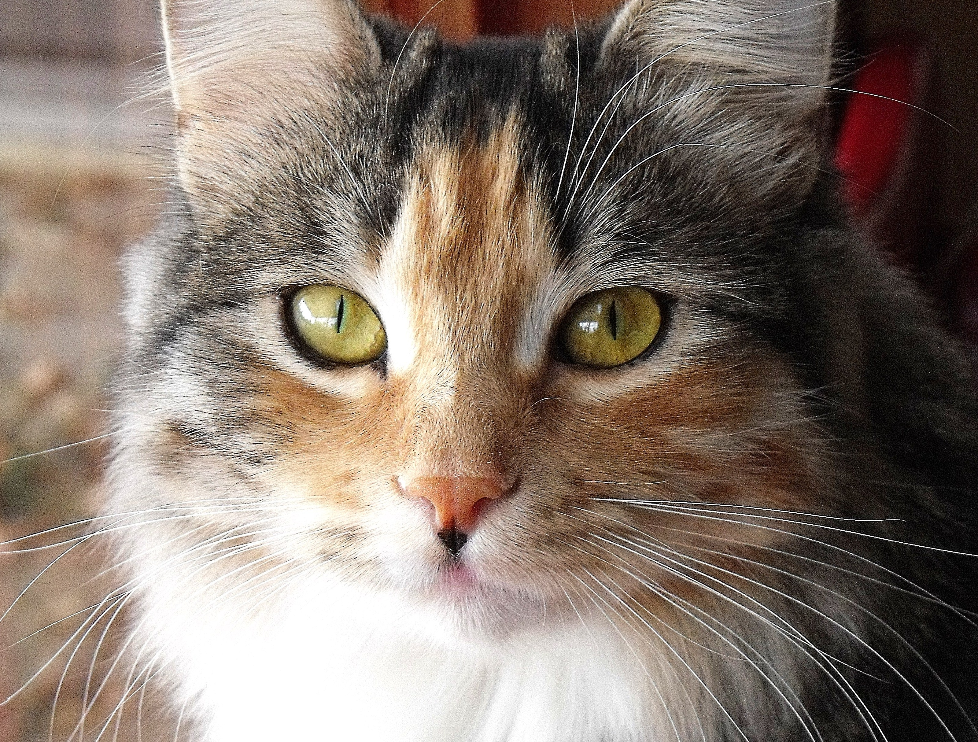 Calico Siberian Cat Biological Science Picture Directory