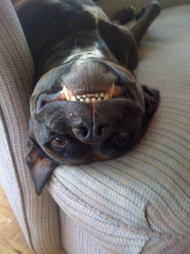 25 Pictures That Prove Pit Bulls Are Vicious Animals-8225