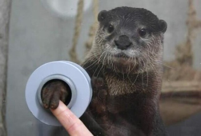4. An aquarium visitor holding hands with an otter.
