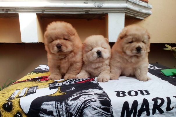 Chubby Puppies That Look Like Teddy Bears - Fropky