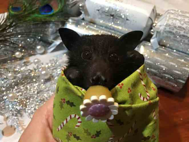 Orphaned Baby Bats Get Festive In Adorable Burrito Style
