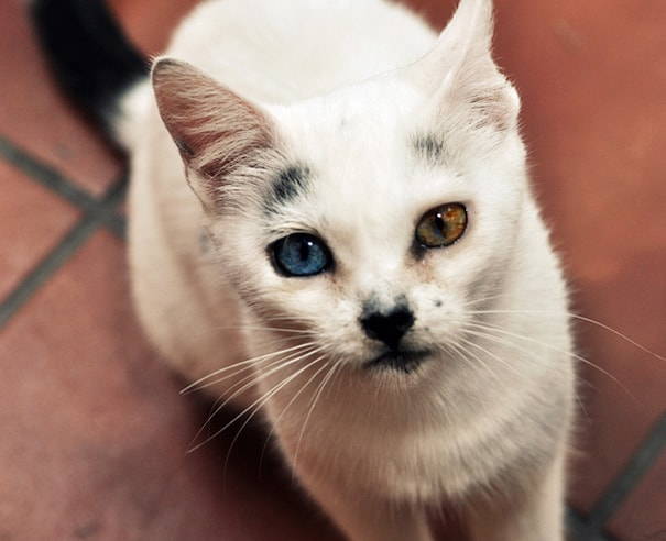 These Cats With Heterochromia Have The Most Beautiful And Unusual Eyes - This cat has the most amazing multi coloured eyes ever