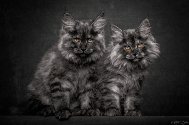 Maine Coon Cats Become Mythical Creatures In These Stunningly