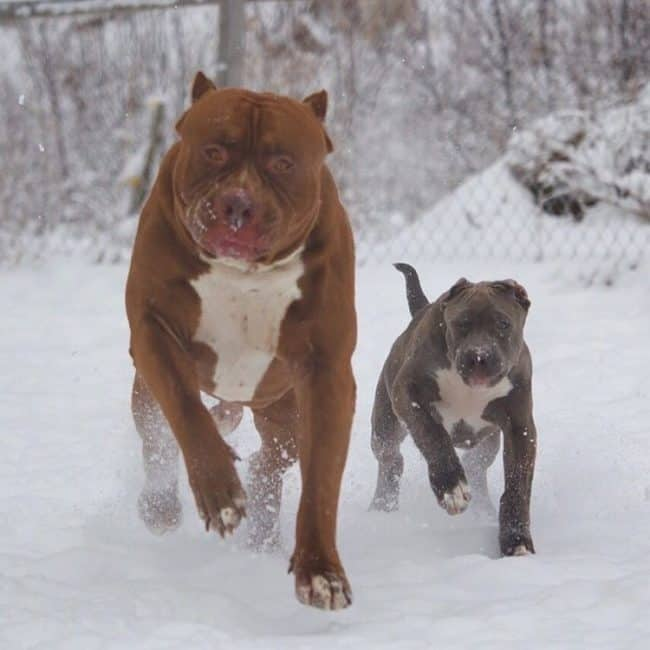 This Is How Much The Worlds Largest Pitbulls Puppies Will Cost You
