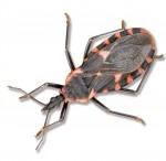 Triatomine bug