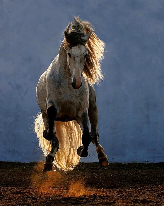 Арабские скакуны. Красивывые фото лошадей... (30 фото ...