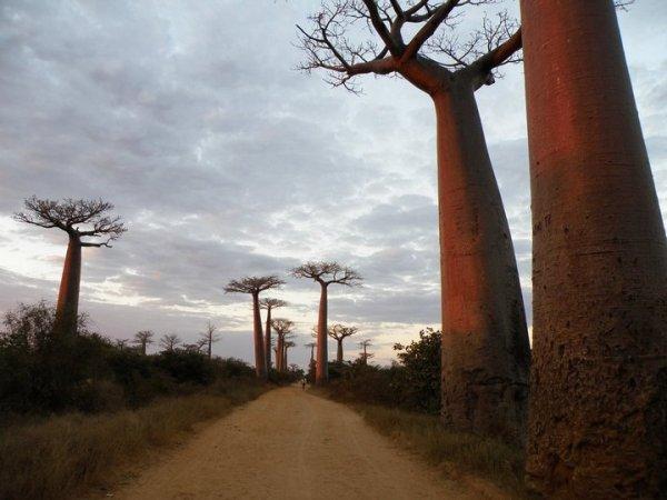 Удивительное дерево баобаб 18 фото PulsON все