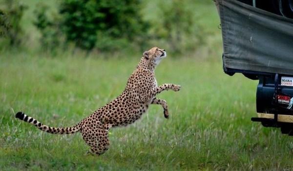 Экстремальное сафари с гепардами... (9 фото)   PulsON ...