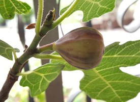 The fig on the tree. Its almost ready!