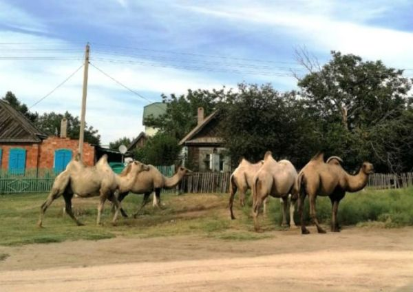 Астрахань | Верблюды, терроризирующие астраханские села ...
